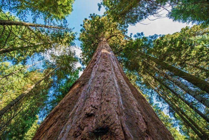 世界一高い木「ハイペリオン」